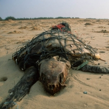 Sea Turtle in a Fishing Net
