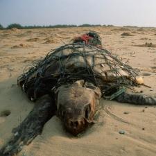 Sea Turtle in a Fishing Net