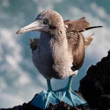 Majestic Booby