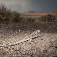 Evening Storm with Leopard Lizard