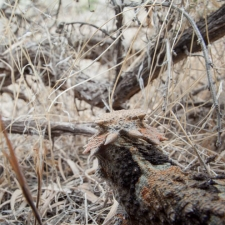 Horned Lizard Eye View