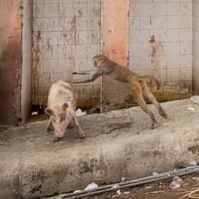 Monkey Tackling a Pig