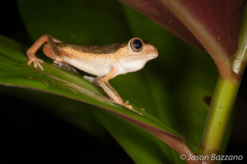 3-dimensional subjects often demand a higher f-number to capture sufficient detail (this jaguar leaf frog was photographed at f/13).