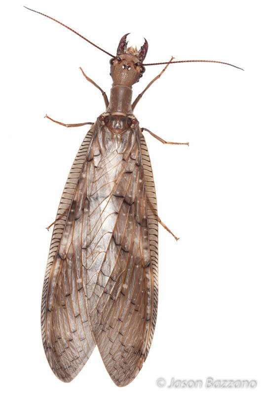 Dobsonflies are so awesome.