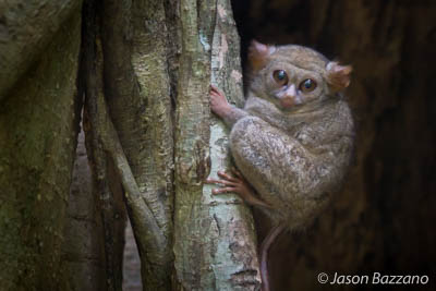 Spectral Tarsier at Dusk